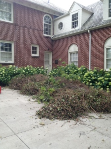 The boulder-sized spools of English ivy Claude and Hugo have eradicated from the front beds this past week